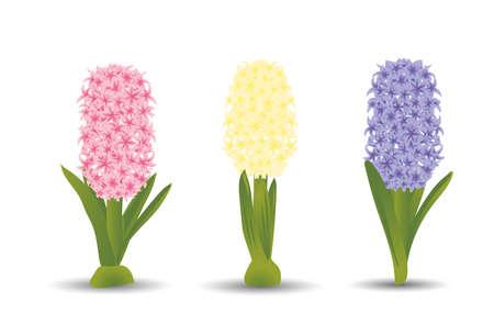 수채화 드로잉의 효과와 세 아름 다운 hyacinths의 집합입니다. 흰색 배경에 고립 된 꽃입니다. 스톡 콘텐츠 - 73267962