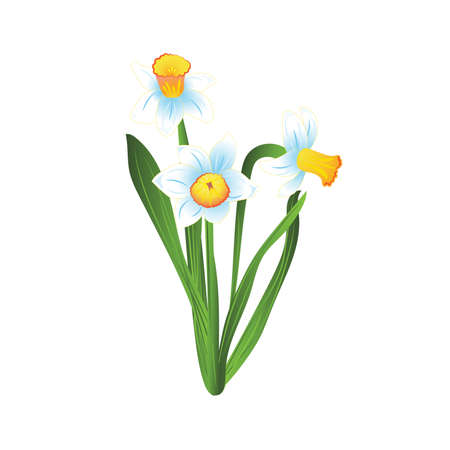 jonquil: Bouquet of three white and blue narcissus flowers with green leaves. Vector