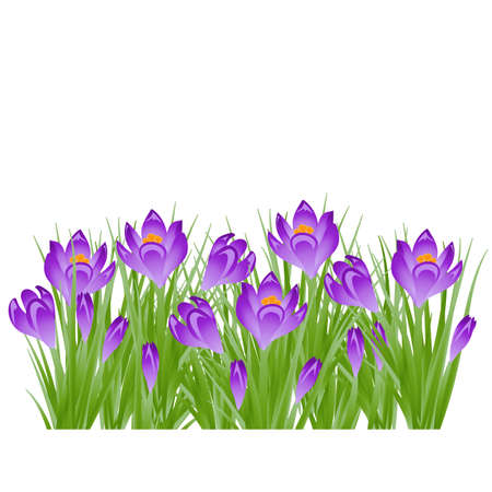 Early spring purple flower Crocus for Easter on white background. Vector illustration