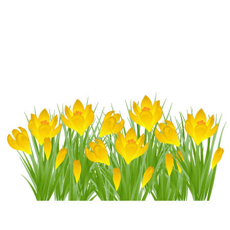 Early spring yellow flower Crocus for Easter on white background. Vector illustration