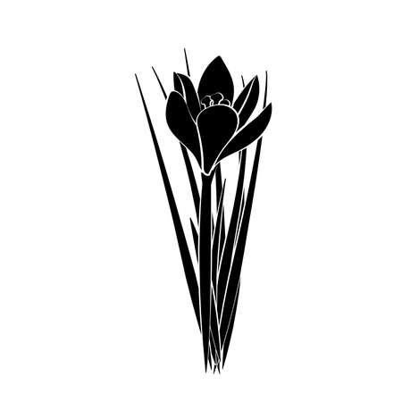 Hand drawn crocus flowers. Vector