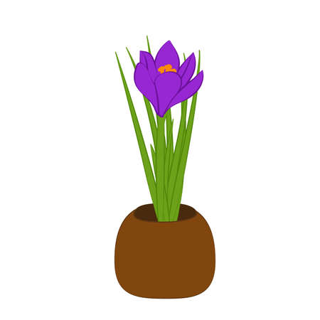 Purple crocus in brown pot isolated on white background. Vector