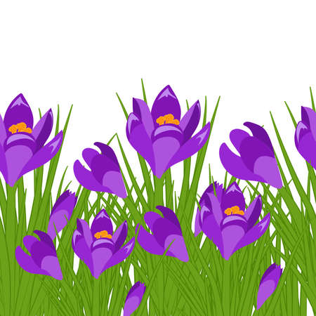 Spring postcard with purple crocus. Early spring purple flower Crocus for Easter on white background. Vector Ilustrace