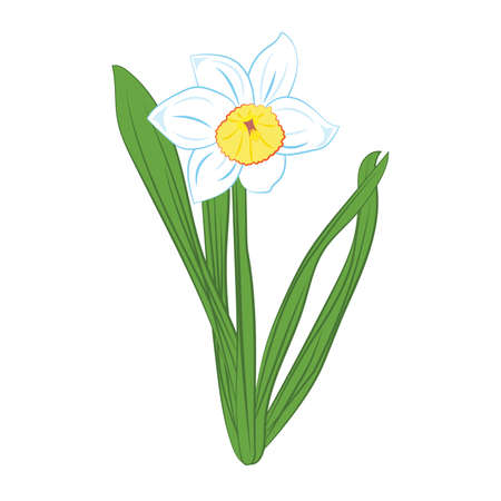 jonquil: White and blue narcissus flowers with green leaves. Isolated on white. Vector