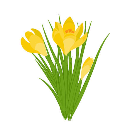 Three yellow crocus blooming flowers isolated on white. Spring colorful plants with buds close up. Crocus flowers signs for greeting cards and invitations. Vector Ilustrace