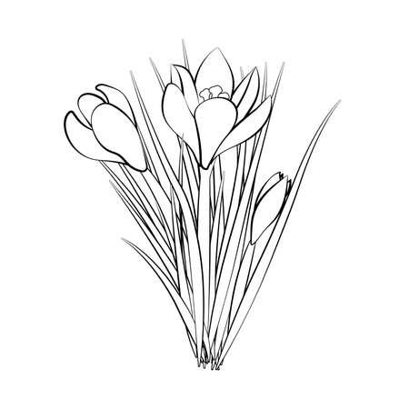 Hand drawn crocus flowers. Elegant vintage card. Three white crocus with black stroke. Vector