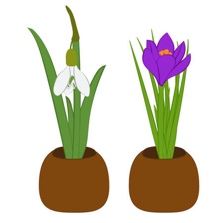 Set of spring snowdrop and crocus in flowers pot isolated on white. Vector