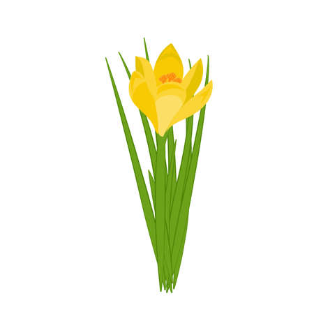 Yellow crocus blooming flowers isolated on white. Spring colorful plants with buds close up. Crocus flowers signs for greeting cards and invitations. Vector