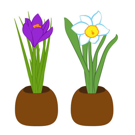 Blue narcissus and purple crocus flower in pots. Flat illustration isolated on white background. Vector
