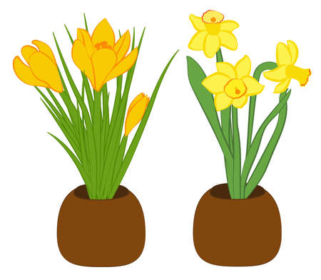 Set of three yellow narcissus and yellow crocus flower in pots. Flat illustration isolated on white background. Vector