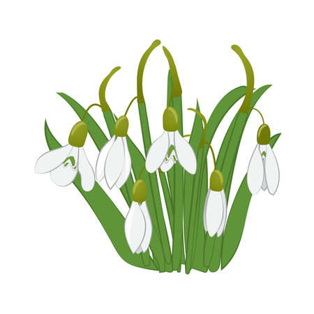 Beautiful snowdrops with green leaves. Isolated on white background. Vector