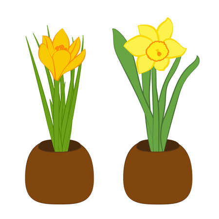 Set of yellow narcissus and yellow crocus flower in pots. Flat illustration isolated on white background. Vector Illustration