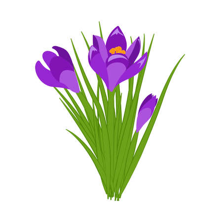 Three purple crocus blooming flowers isolated on white. Spring colorful plants with buds close up. Crocus flowers signs for greeting cards and invitations. Vector