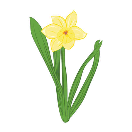 Yellow narcissus flowers with green leaves. Isolated on white. Vector Ilustração