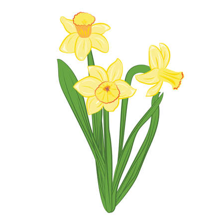 Three yellow narcissus flowers with green leaves. Isolated on white. Vector