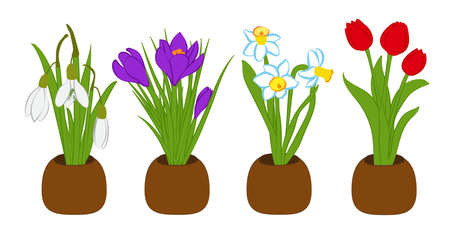 Bouquets set of spring snowdrop, narcissus and crocus in flower pots isolated on white. Vector