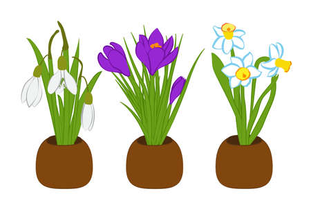 Set of spring snowdrop, narcissus and crocus bouquets in flower pots isolated on white. Vector
