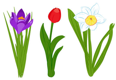 Set of blue narcissus, purple crocus and red tulip flowers. Flat illustration isolated on white background. Vector