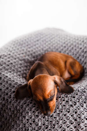 Dachshund puppy sleeping in her bed. Stock Photo - 116054024