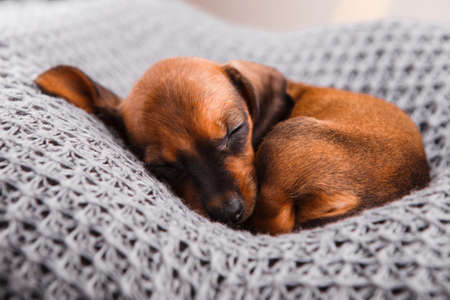 Dachshund puppy sleeping in her bed. Stock Photo - 117698276