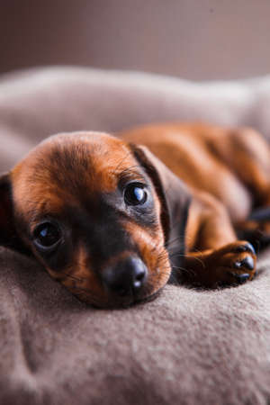 Dachshund puppy sleeping in her bed.