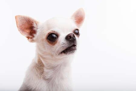 Chihuahua dog. Portrait on white background 版權商用圖片
