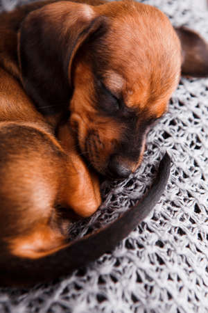 Dachshund puppy sleeping in her bed. Stock Photo