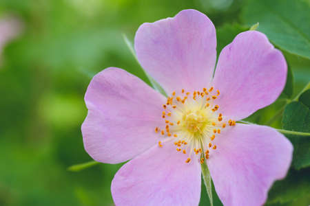 Flowers of dog-rose rosehip growing in nature green background
