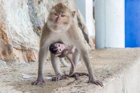female monkeys , mom with his baby breastfeeding.