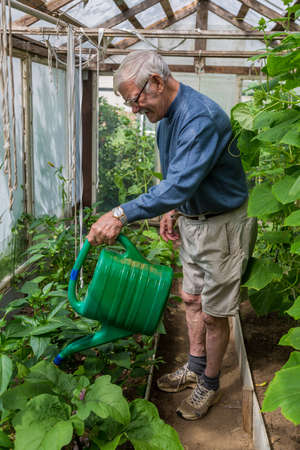 an elderly male gardener treats tomatoes with fertilizer against blackening and powdery mildew