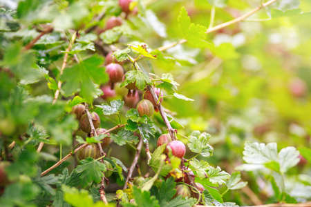Fresh gooseberry on a branch of a gooseberry Bush in the garden. Close-up view of organic gooseberry berries hanging on a branch under the leaves. Selective focus.