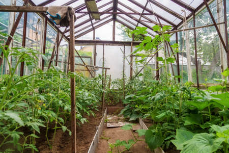 curly pumpkin lashes in the greenhouse of a country house. Pumpkin seedlings in the beds