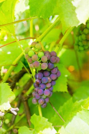 .A bunch of grapes on a branch in a private vineyard, in a country house in the village 版權商用圖片