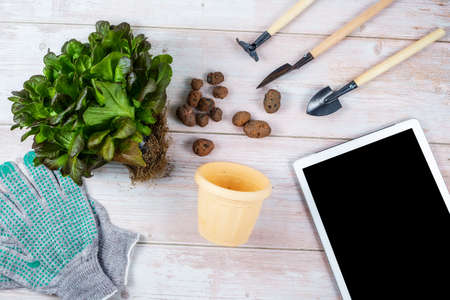 A green plant for replanting, a flower pot, expanded clay, gardening tools and gloves are laid out on a wooden table. home gardening online learning concept.