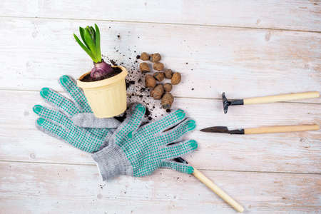 A green plant for replanting, a flower pot, expanded clay, gardening tools and gloves are laid out on a wooden table. Home gardening concept.