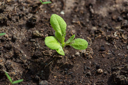 Seedlings of radish and lettuce in a garden bed in a greenhouse, horizontal format Stockfoto