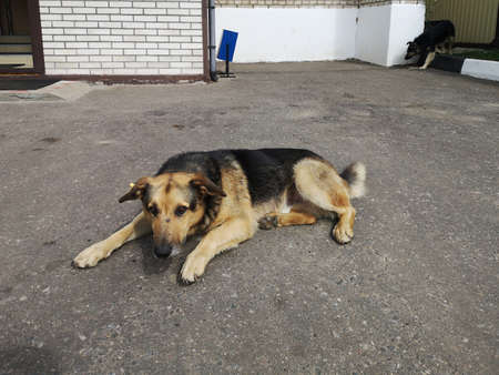A stray lonely sad dog near the entrance of a house in the city. There is a label on the dog's ear that it has been vaccinated and sterilized.