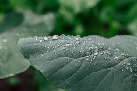 Close up view of water drops on green leaves after the rain, selective focus and blurred background.
