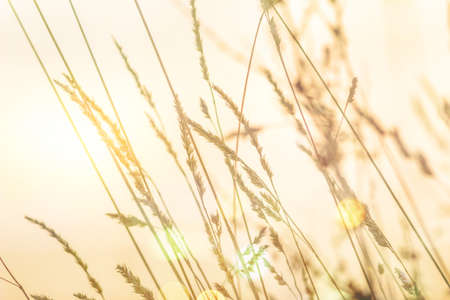 Various blades of grass under a layer of snow in the rays of the setting sun, selective focus, blurred background, sun flare