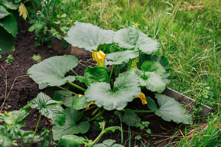 Pumpkin baby fruit with flower and green leaves.