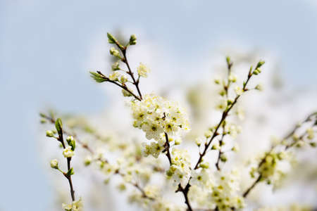 Defocused floral background with cherry blossoms against blue sky.