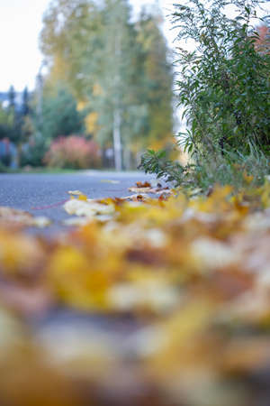 Autumn background with fallen yellow maple leaves on ground selective focus, blurred background
