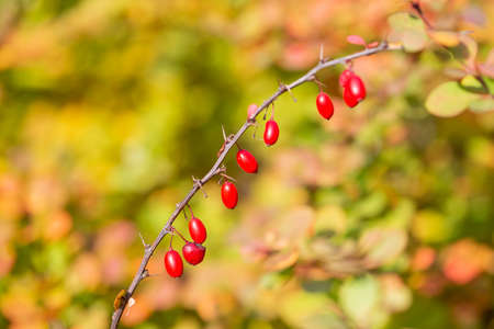 Ripe red Barberry fruits on bush branches in autumn, barberry close up, berberis vulgaris