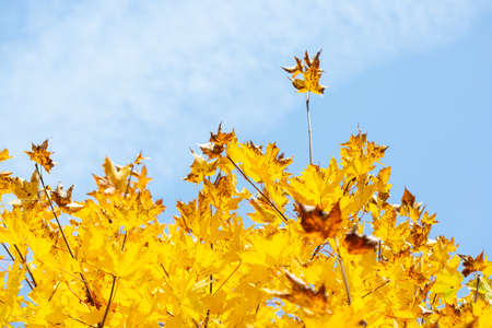 Bright yellow maple leaves on a blue sky background in autumn. Foto de archivo