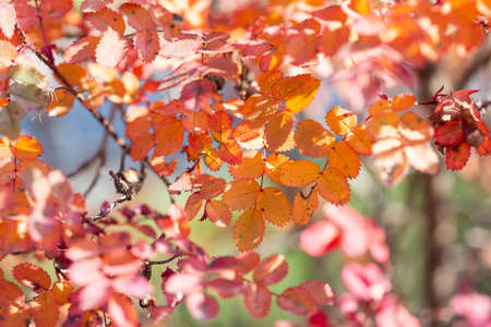 Bright colorful leaves on bushes in autumn, selective focus, blurred background