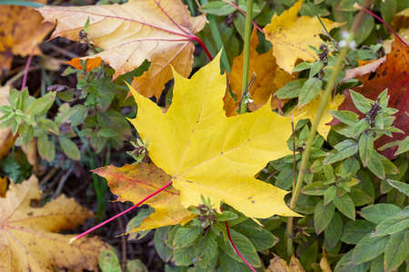 Bright yellow fallen maple leaves on the ground in autumn, selective focus, blurred background.