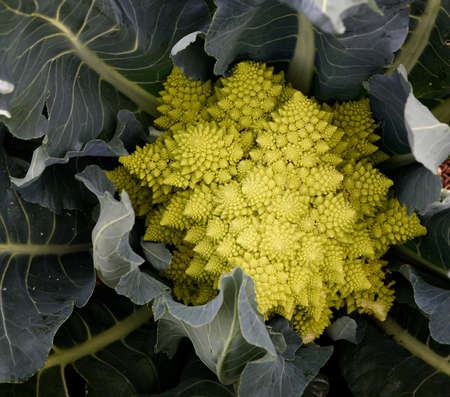 Romanesco cabbage