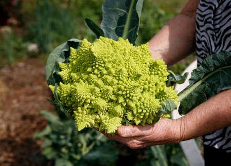 Hands of farmer holding Romanesco cabbage