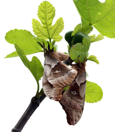 fig tree: Two moths on fig tree