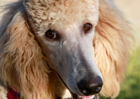 Close up portrait of young peach poodle with selective focus on an eye Stok Fotoğraf